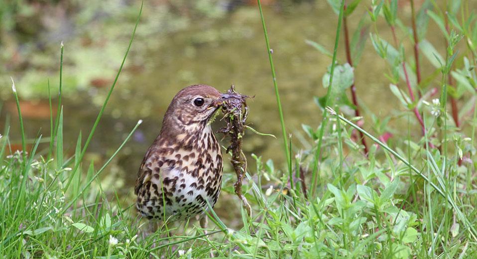Zanglijster diept modder op voor afwerking binnenkant nest.
