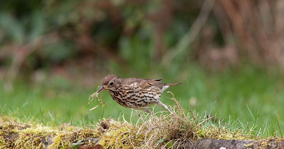 Zanglijster rukt taaie graspijlen af voor nestbouw.