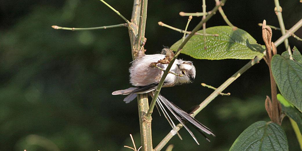 Staartmees verzamelt spinrag voor nestbouw.
