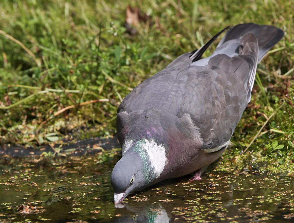 Houtduif - Wood Pigeon 11/07/2016.