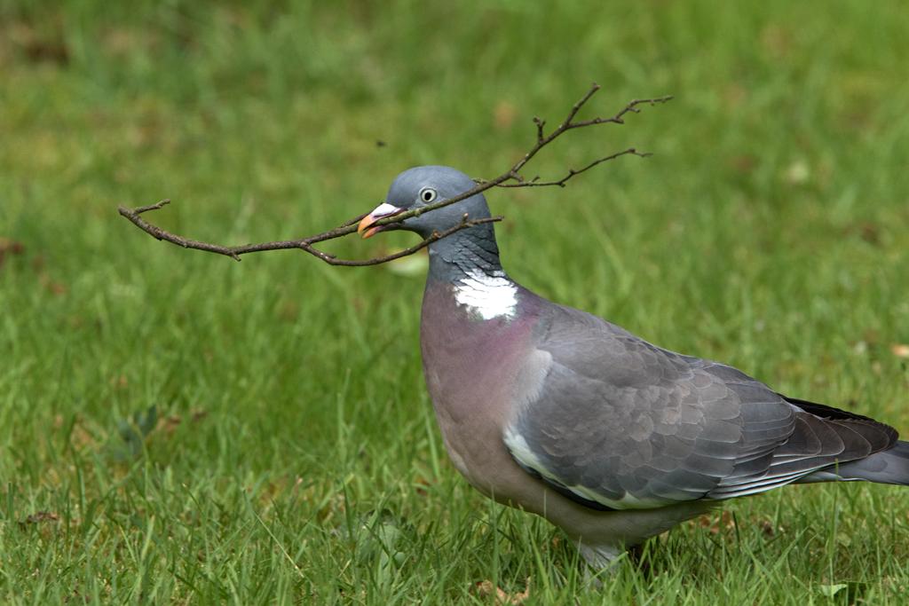 Houtduif - Wood Pigeon 7/06/2017.