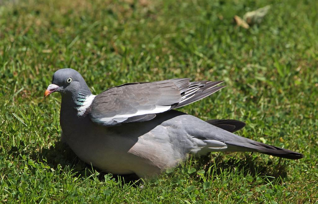 Houtduif - Wood Pigeon 15/08/2012. Zonnen.