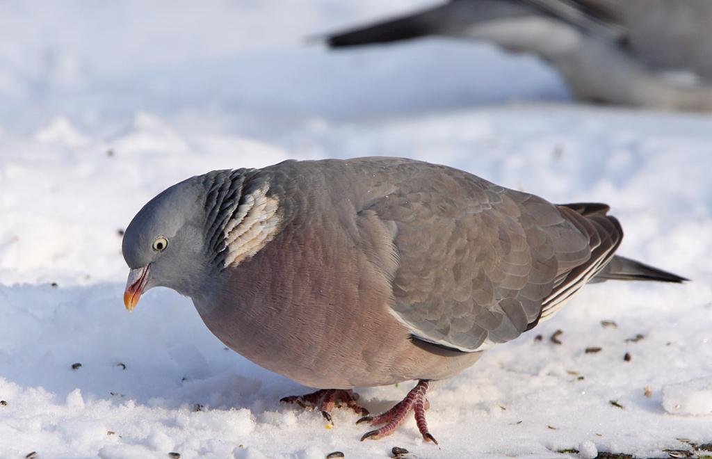 Houtduif - Wood Pigeon 22/01/2013.
