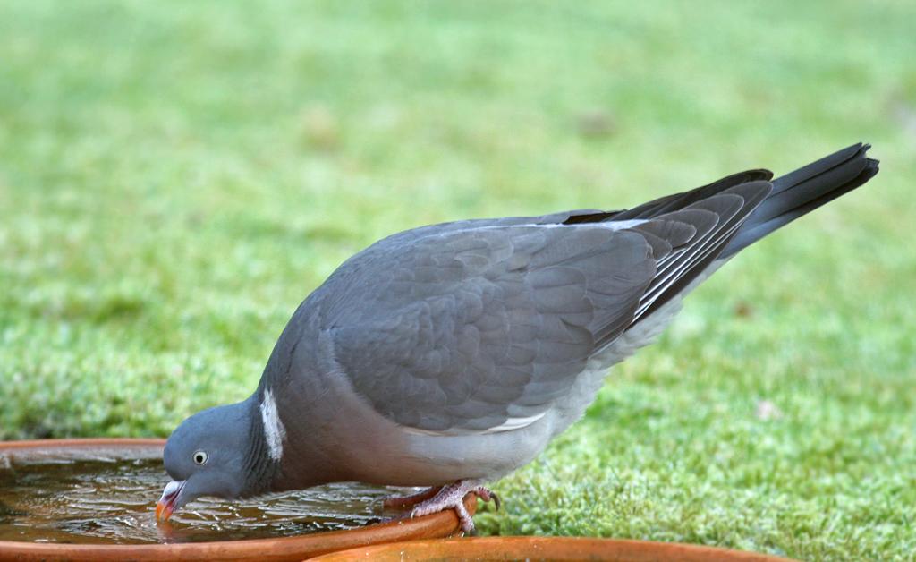 Houtduif - Wood Pigeon 3/02/2008.