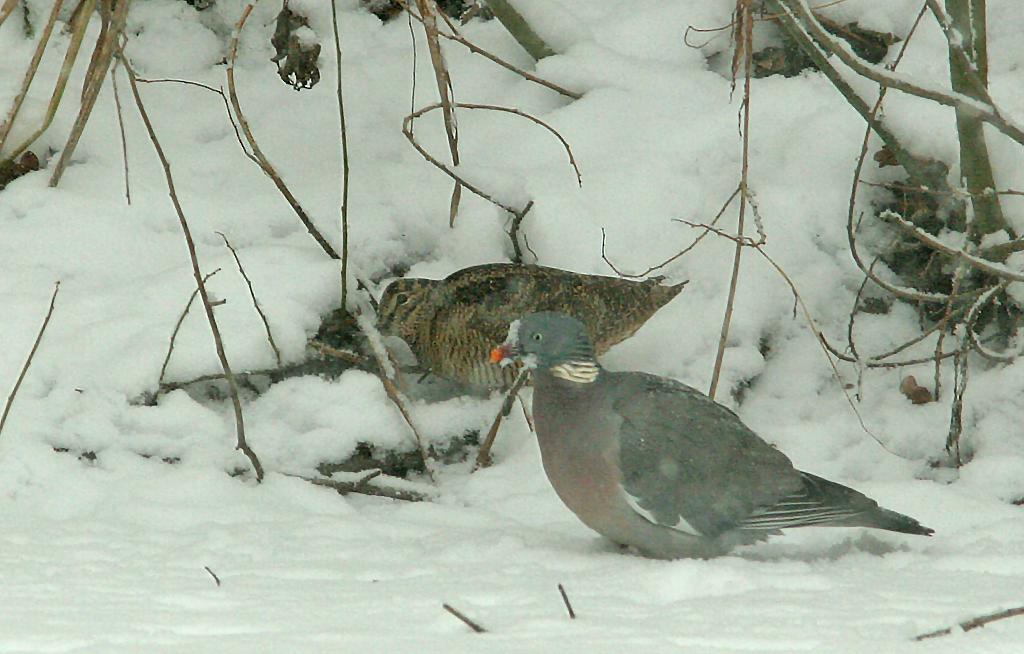 Houtduif - Wood Pigeon 9/01/2010. Foerageren aan de zijde van Houtsnip.