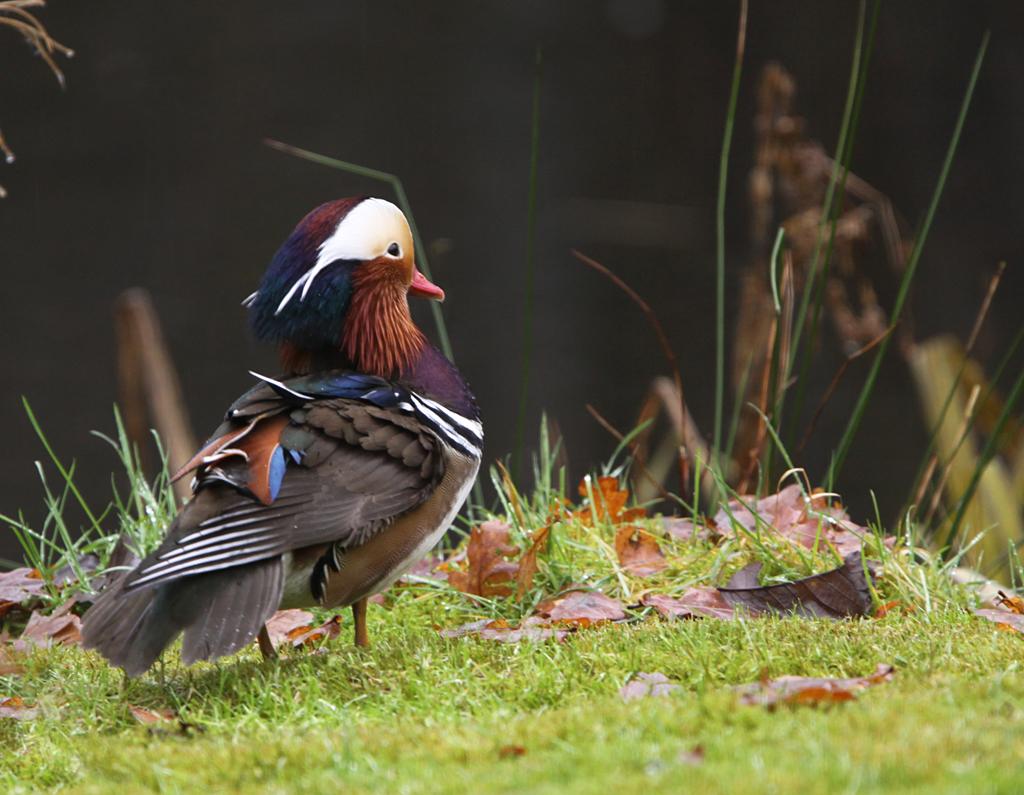 Mandarijneend  -  Mandarin Duck 20/12/2012.