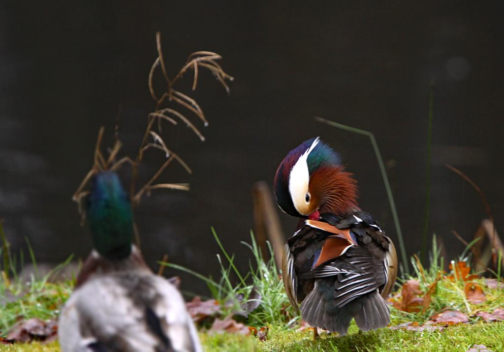 Mandarijneend, Mandarin Duck, Aix galericulata, poetsen, cleaning