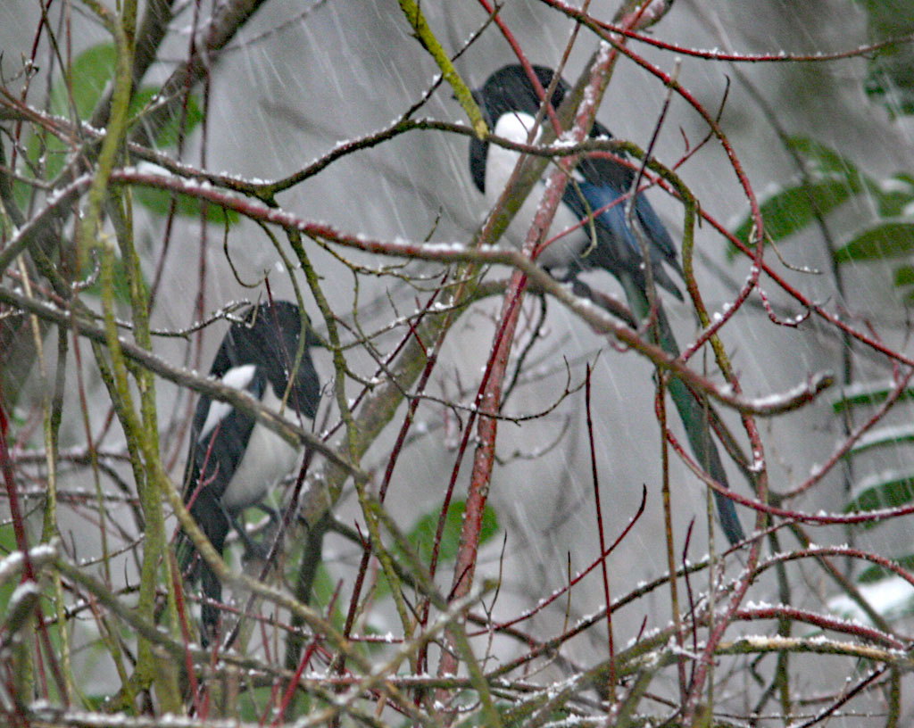 Ekster, Magpie, pica pica