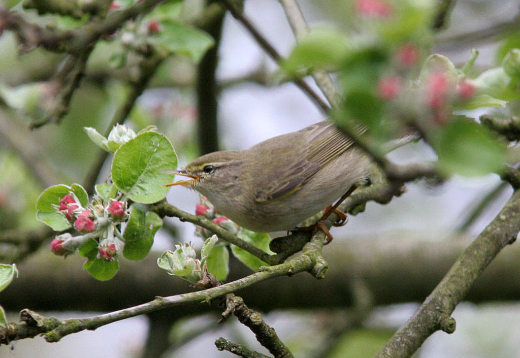 Fitis, Willow Warbler, Phylloscopus trochilus, foerageren, foraging, appelbloesem, apple blossom, tuin, garden