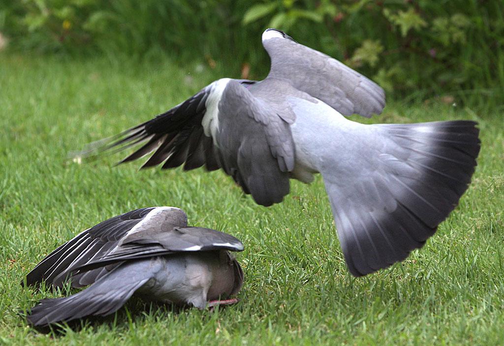 Houtduif - Wood Pigeon 4/06/2011. Imponeergedrag.