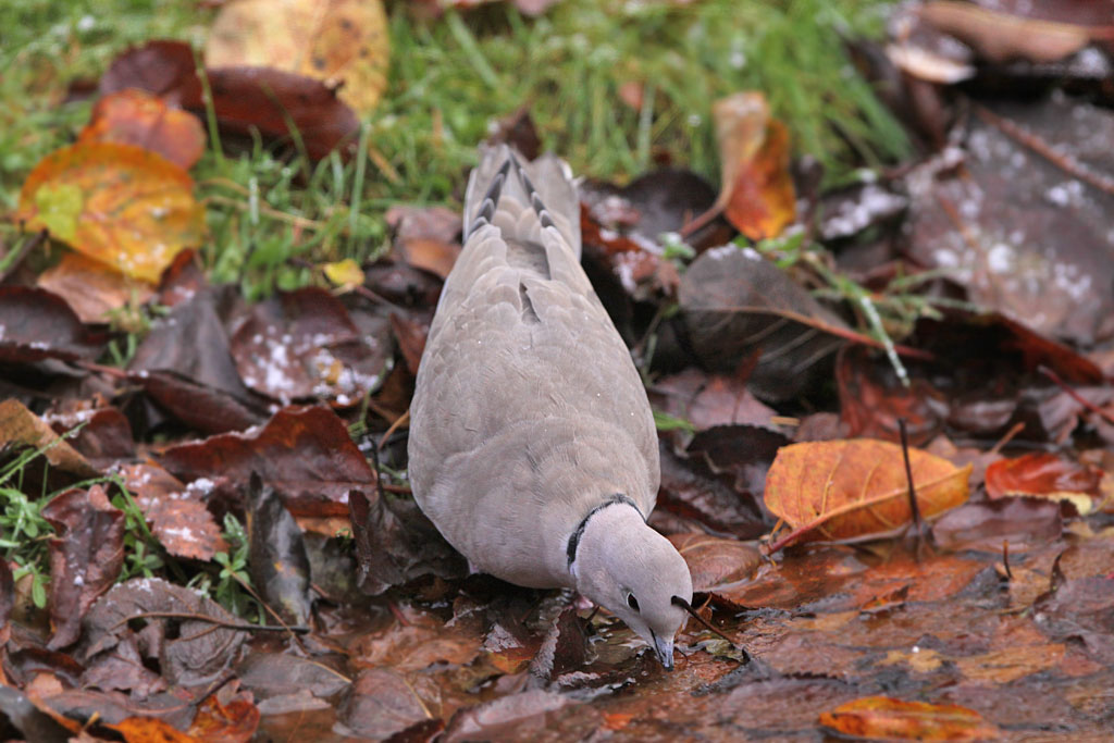 Turkse tortel  -  Collared Dove 6/12/2012.