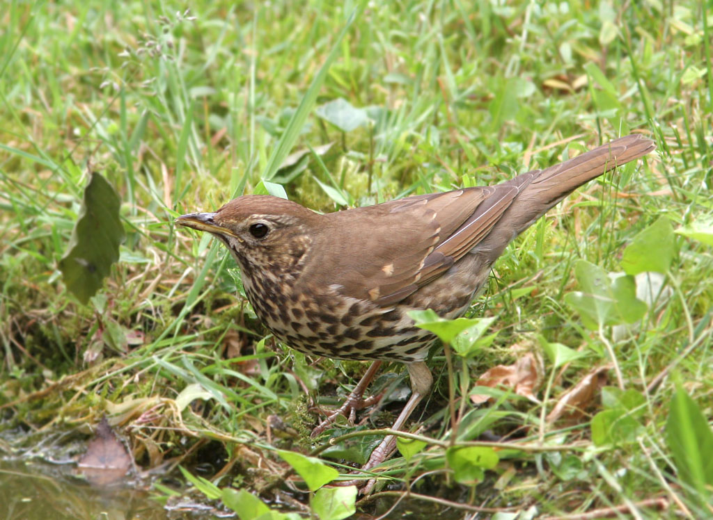 Zanglijster -  Song Thrush 6/06/2007.