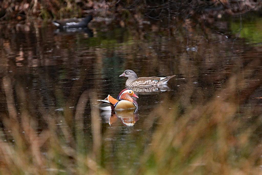 Mandarijneend  -  Mandarin Duck 5/03/2017. Koppel op grote tuinvijver.