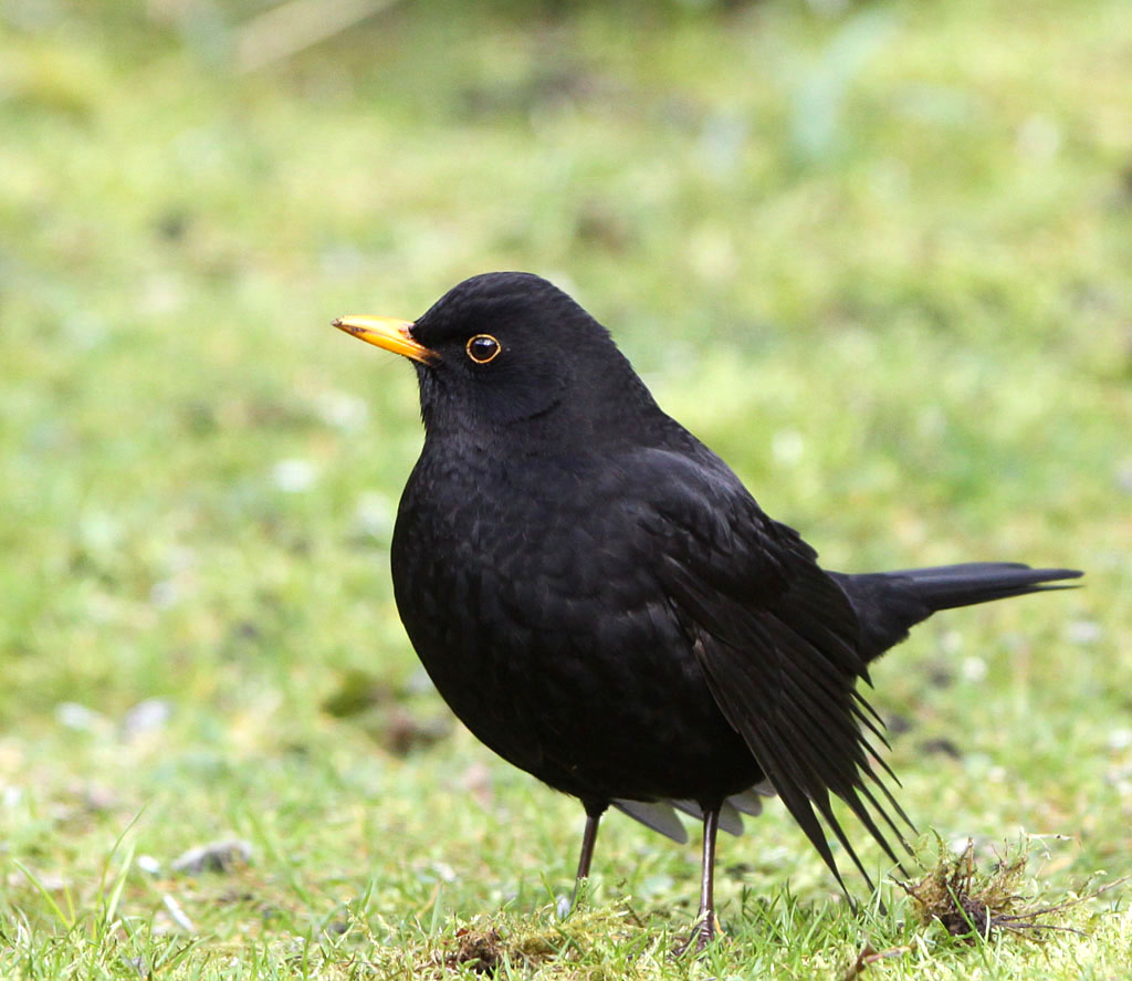Merel, Blackbird, Turdus merula, baltsen, courting