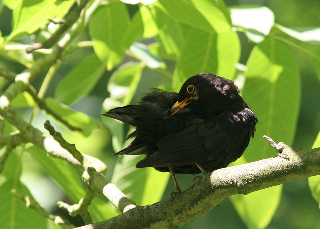 Merel, Blackbird, Turdus merula, poetsen, preening