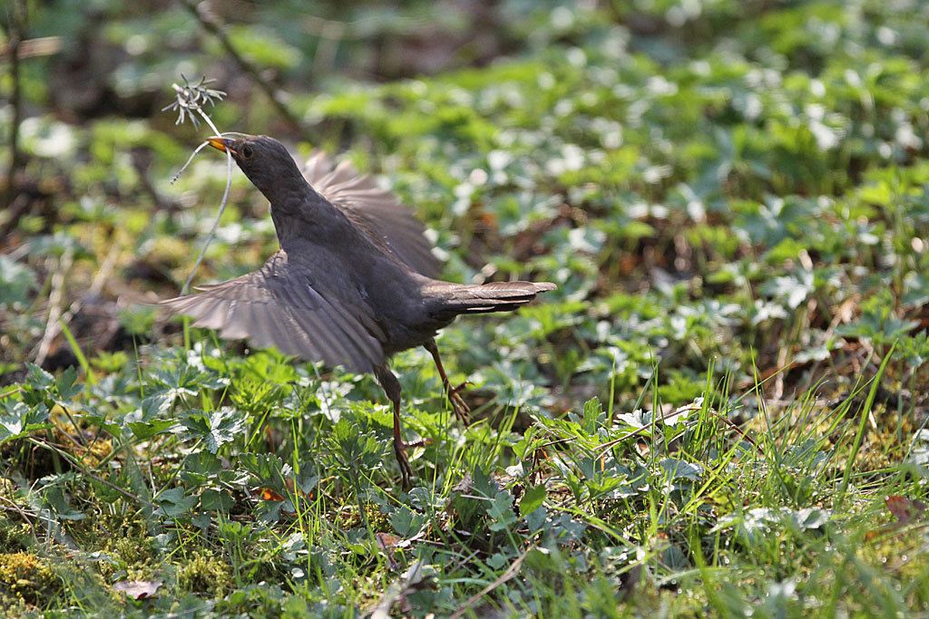 Merel, Blackbird, Turdus merula, vliegen flying
