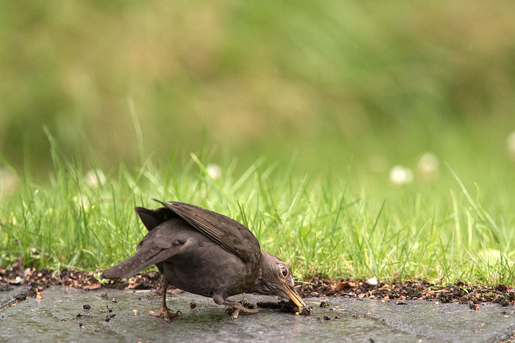 Merel, Blackbird, Turdus merula, azen, feeding, breeding,