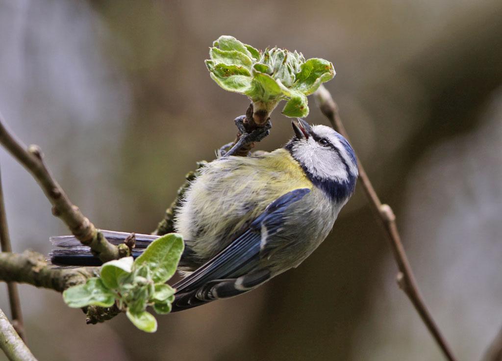 Pimpelmees, Blue Tit, Cyanistes caeruleus, foerageren, foraging