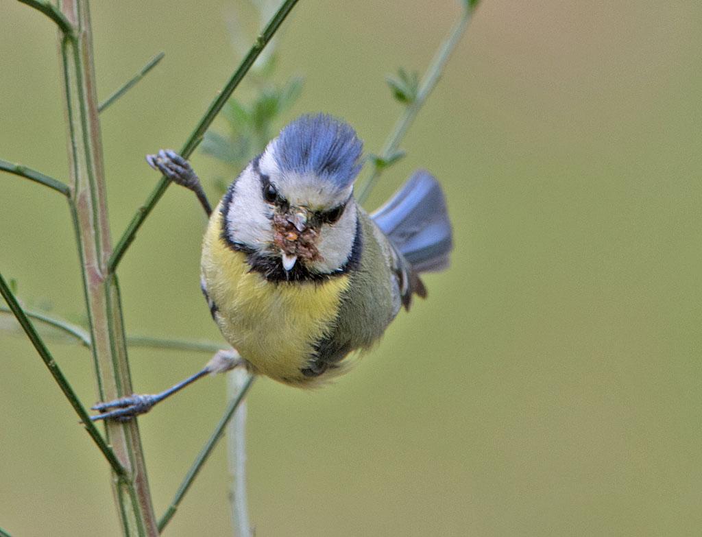 Pimpelmees, Blue Tit, Cyanistes caeruleus, azen, feeding, broeden, breeding, bladluis, aphid
