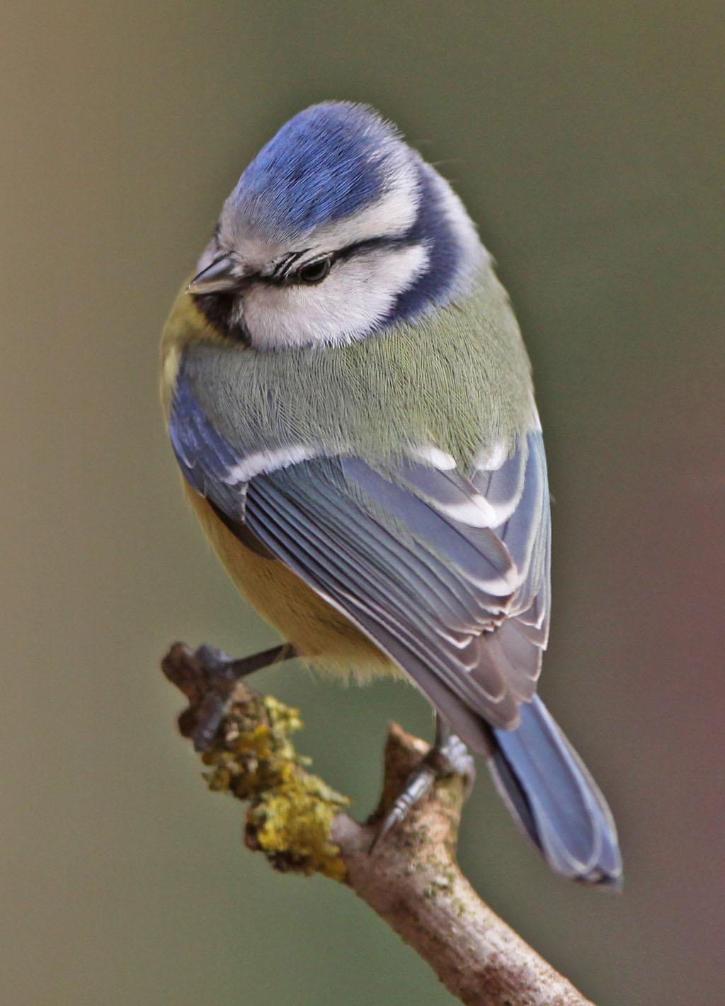 Pimpelmees, Blue Tit, Cyanistes caeruleus