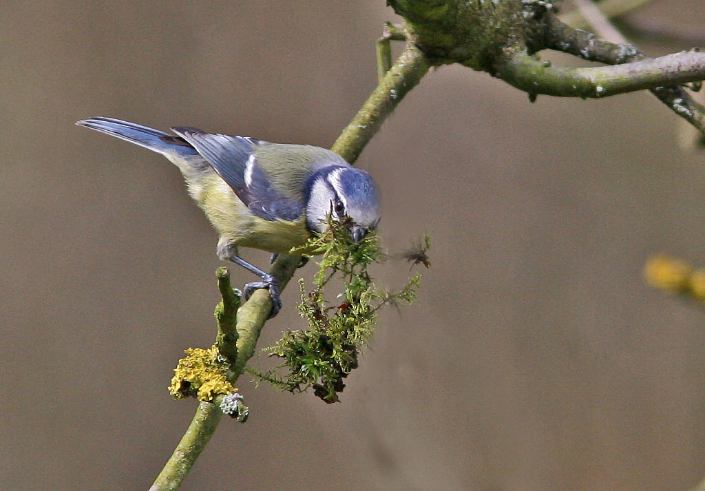 Pimpelmees, Blue Tit, Cyanistes caeruleus, nestelen, nesting