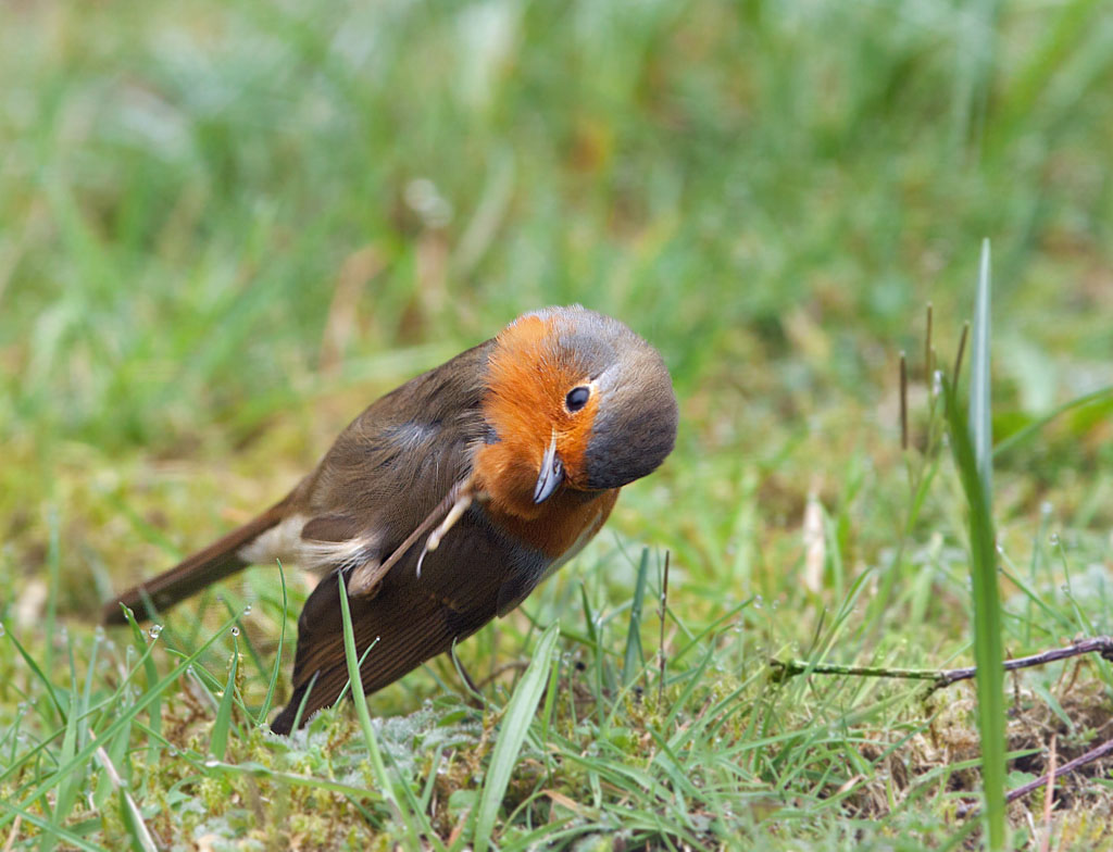 Roodborst, Robin, Erithacus rubecula, poetsen, preening