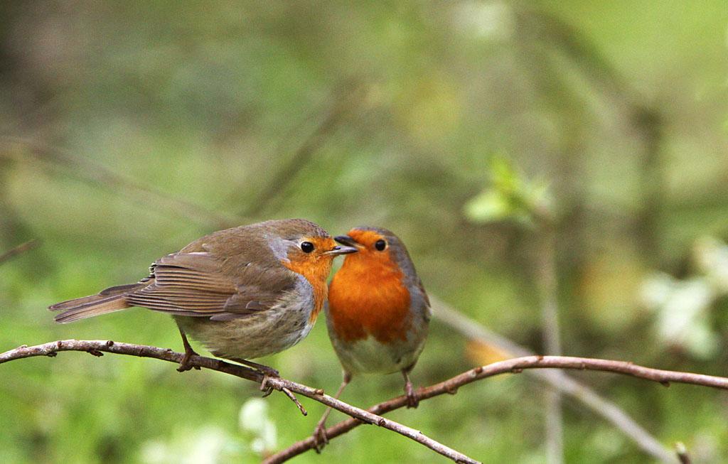 Roodborst, Robin, Erithacus rubecula, male, female