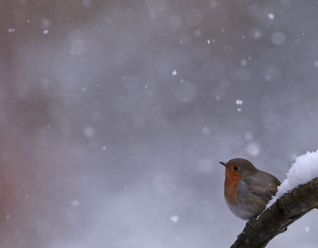 Roodborst  -  Robin 3/02/2012. Winter.