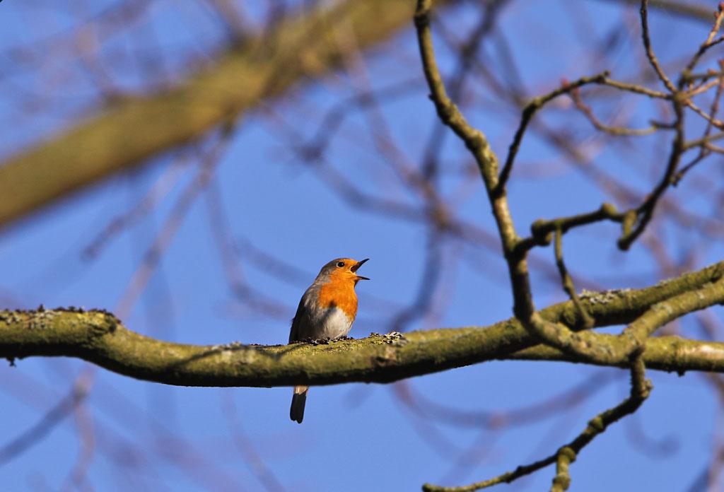 Roodborst, Robin, Erithacus rubecula, zingen, singing