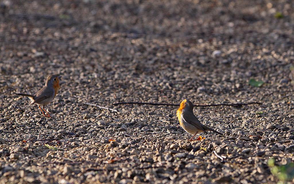 Roodborst, Robin, Erithacus rubecula, baltsen, courting