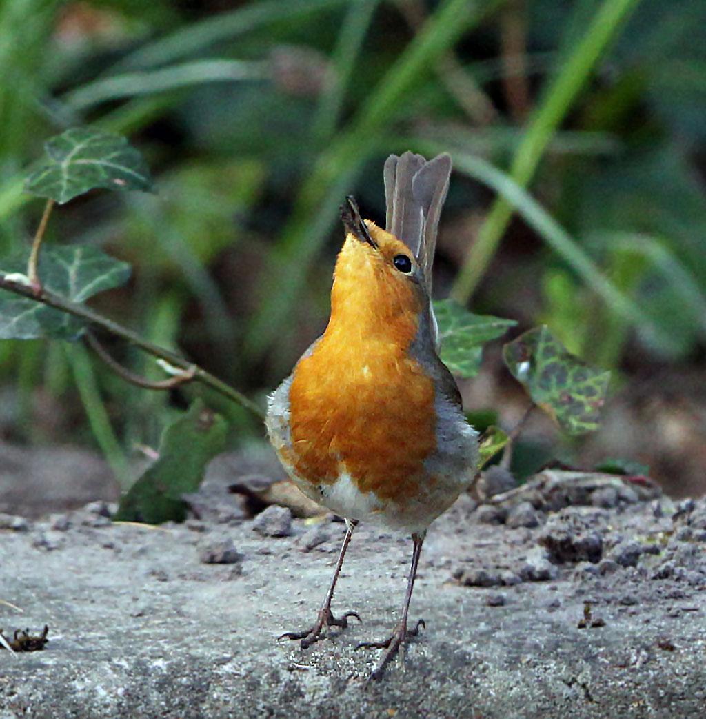 Roodborst -  Robin 6/04/2014. Balts, man lichaam verticaal, wiegend.