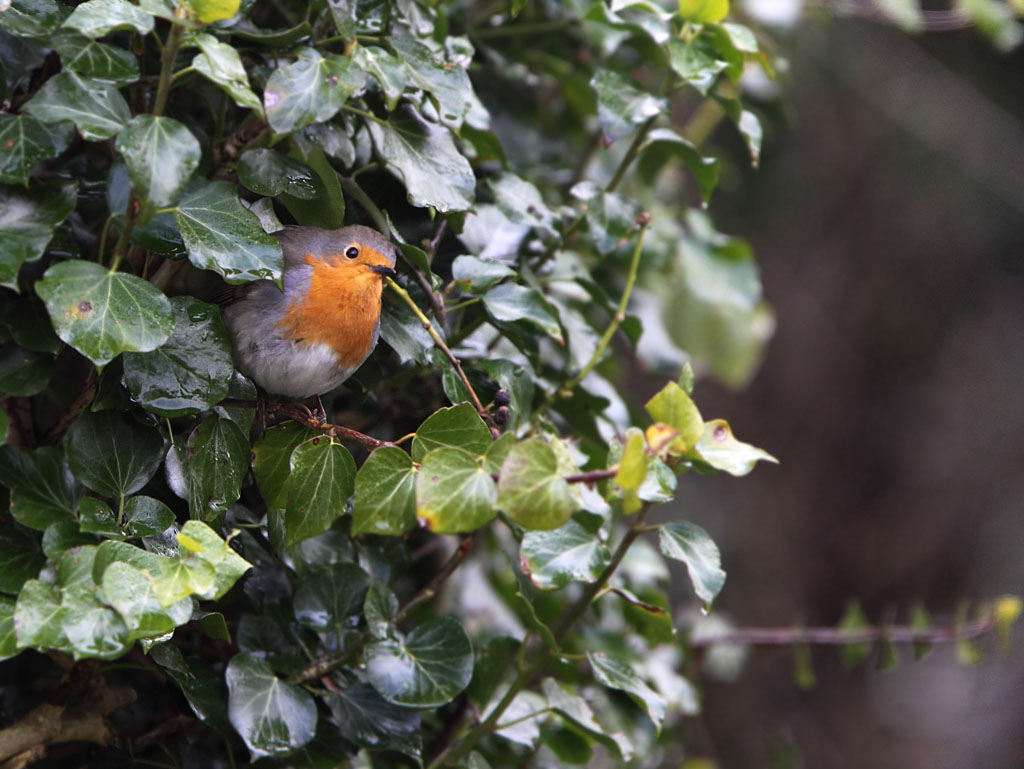 Roodborst, Robin, Erithacus rubecula, klimop, ivy