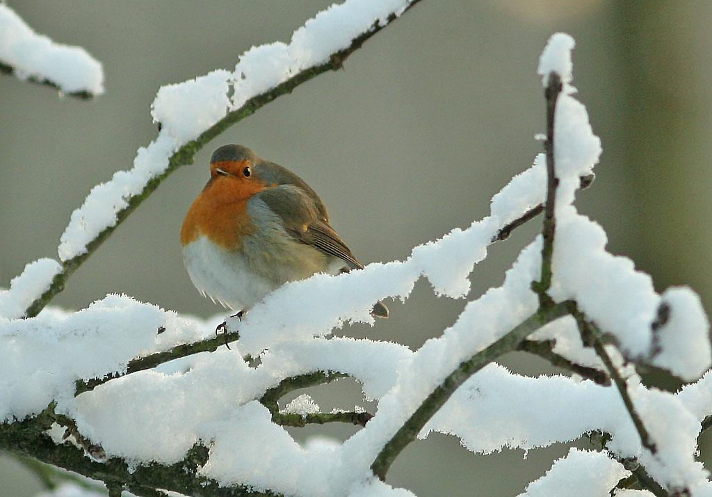 Roodborst  -  Robin 5/01/2010. Winter.