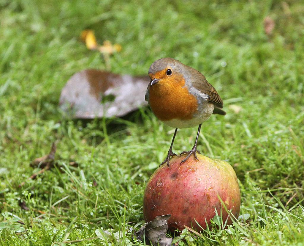 Roodborst, Robin, Erithacus rubecula, appel, apple