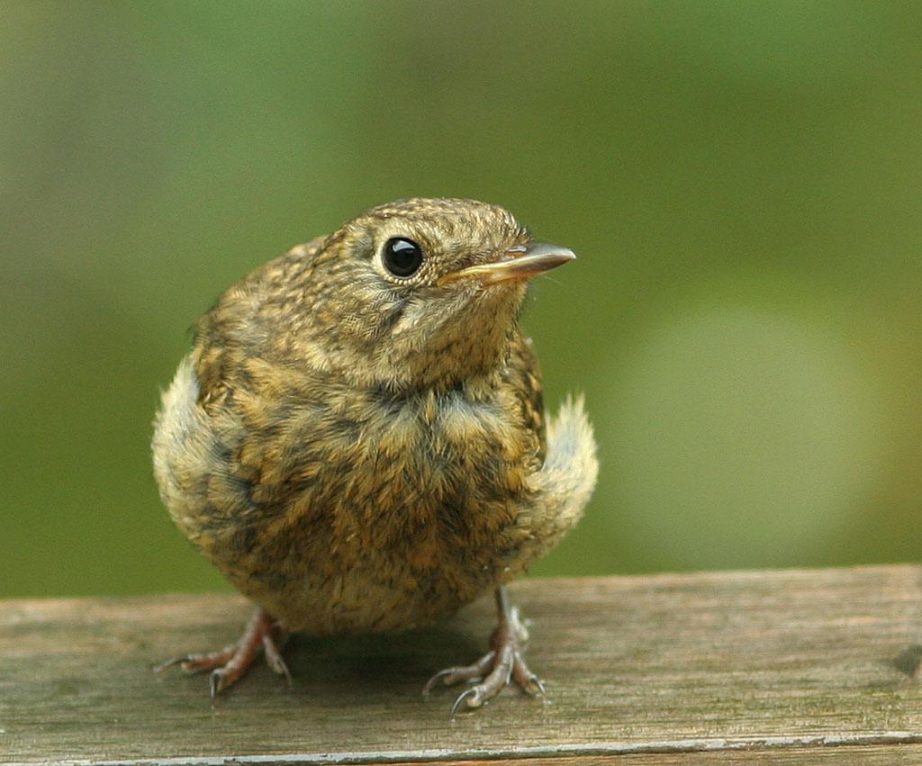 Roodborst, Robin, Erithacus rubecula, juveniel, juvenile