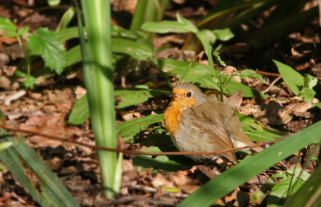 Roodborst, Robin, Erithacus rubecula, zonnen, sunbathing