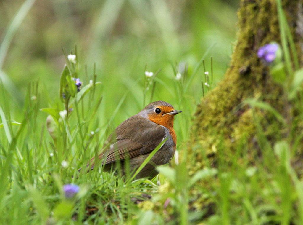 Roodborst, Robin, Erithacus rubecula