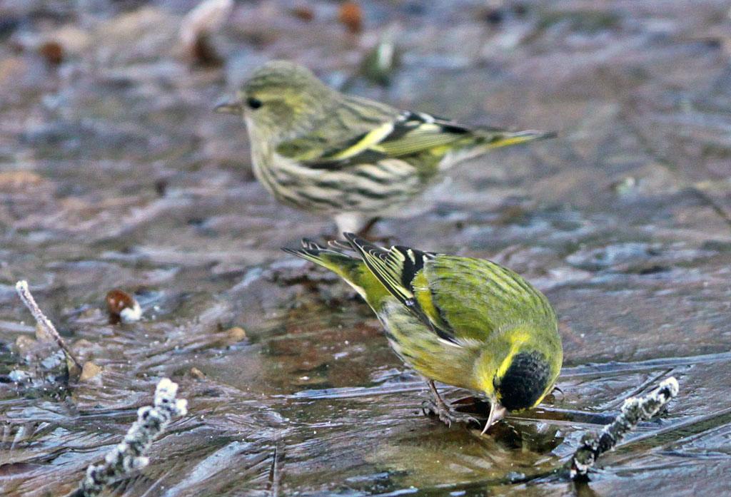 Sijs  -  Siskin 16/01/2012. Wanhopig op zoek naar water.