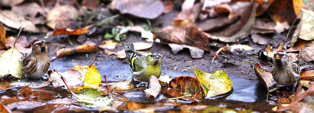 Sijs  -  Siskin 12/11/2010. Geflankeerd door 2 barmsijzen.