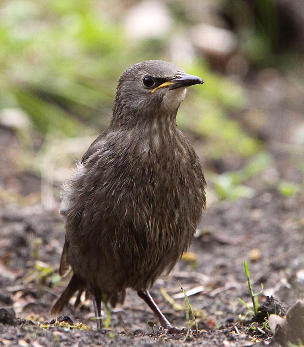 Spreeuw, Starling, Sturnus vulgaris, juveniel, juvenile