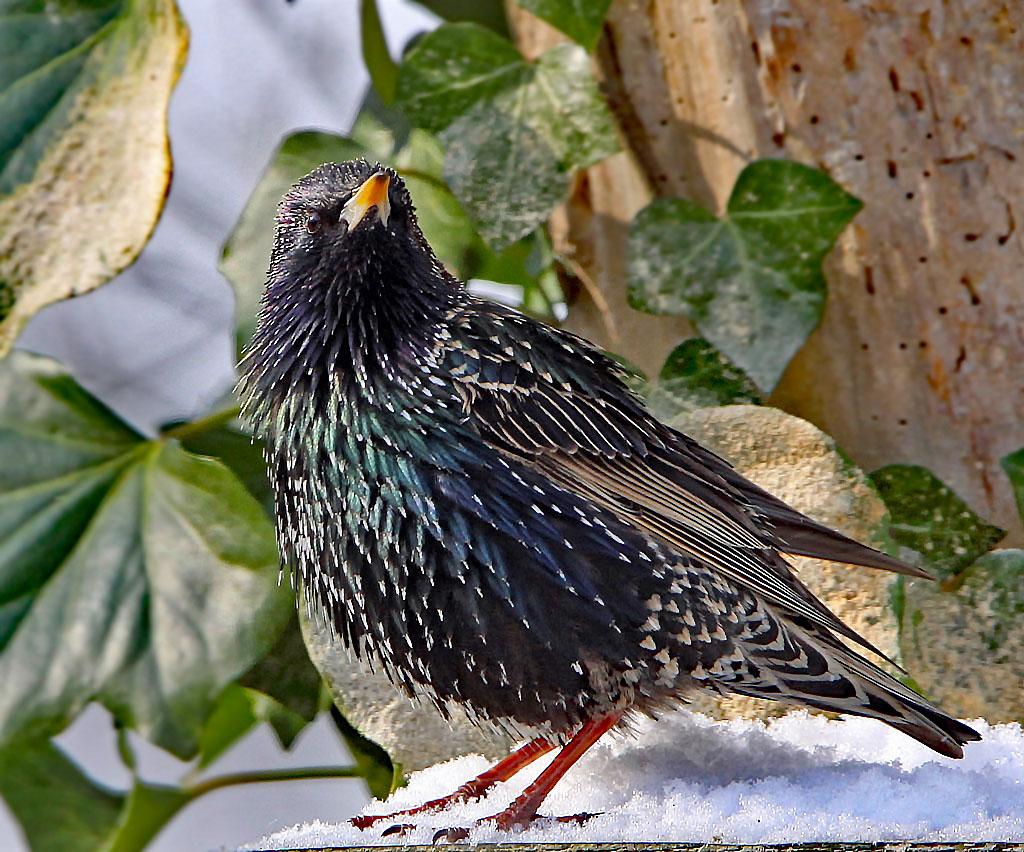 Spreeuw, Starling, Sturnus vulgaris