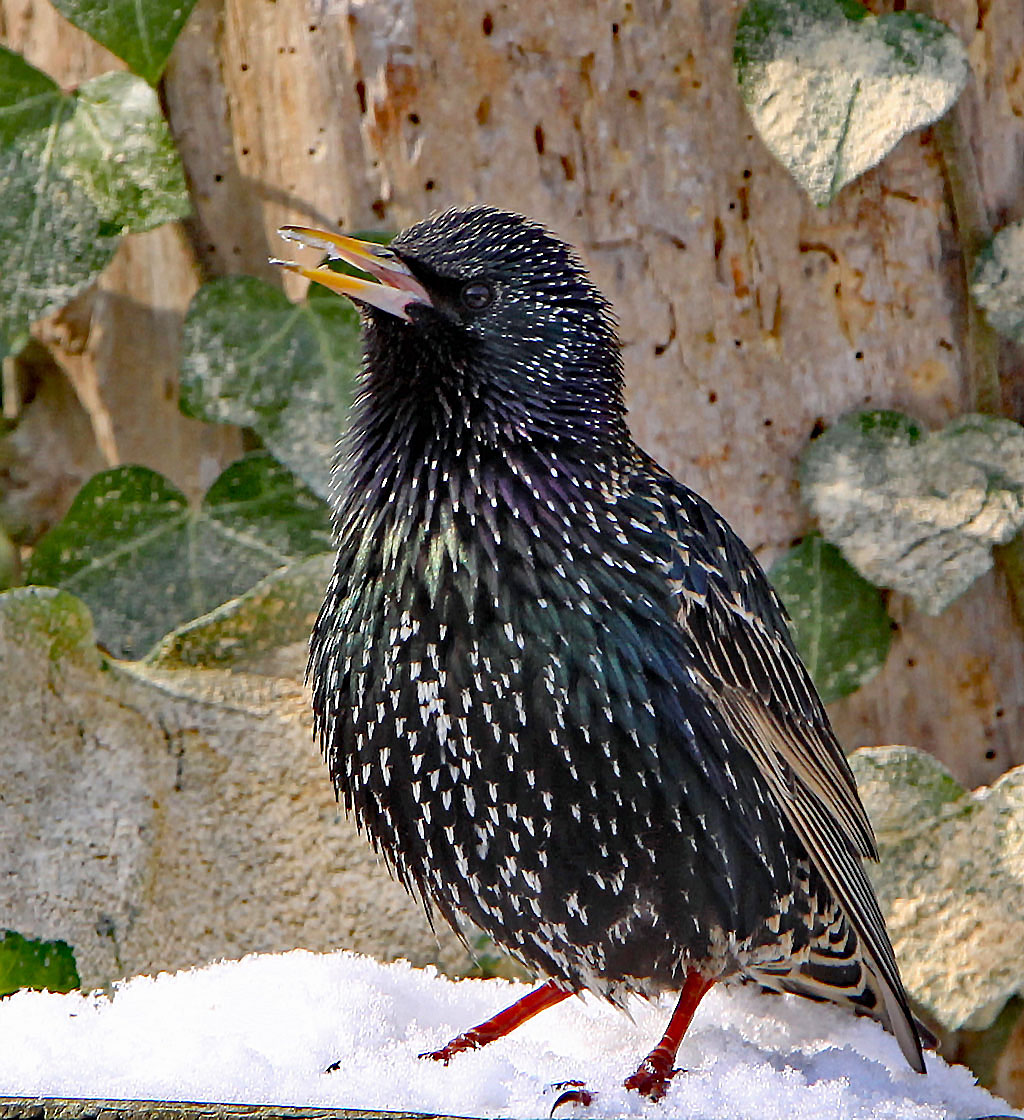 Spreeuw, Starling, Sturnus vulgaris, zingen, singing
