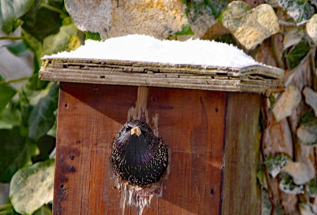 Spreeuw, Starling, Sturnus vulgaris, nestelen, nesting