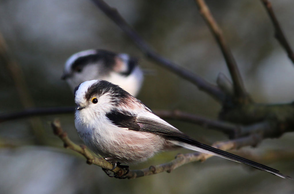 Staartmees, Aegithalos caudatus, Long-tailed Tit, tuin, garden