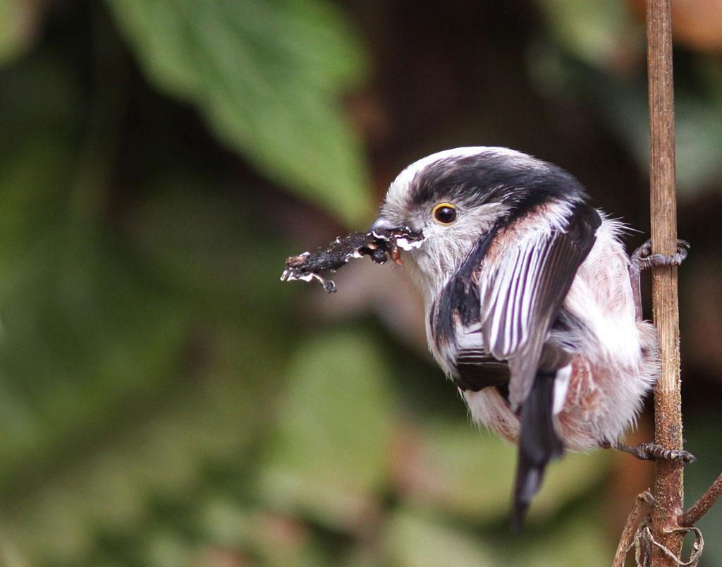 Staartmees  - Long-tailed Tit 15/03/2009. Korstmos als nestmateriaal. Nestje in klimop.