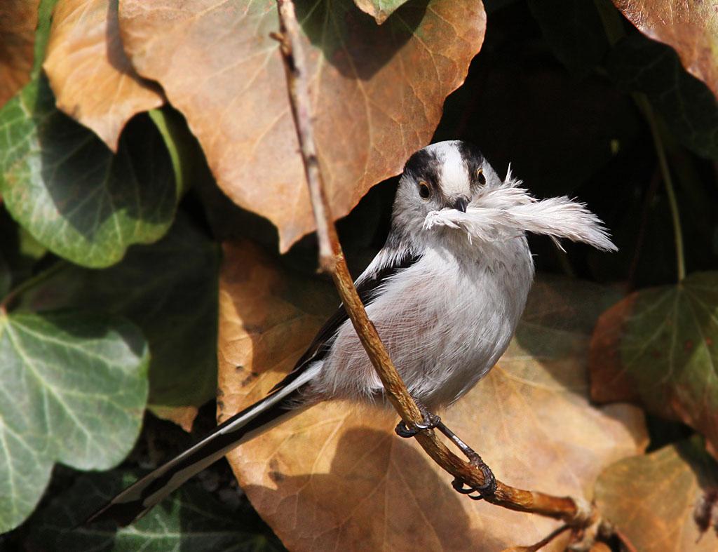 Staartmees  - Long-tailed Tit 15/03/2009. Veertjes als nestmateriaal. Nestje in klimop.