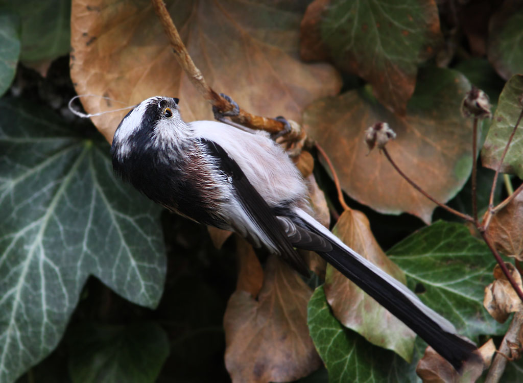 Staartmees  - Long-tailed Tit 15/03/2009. Spinrag als nestmateriaal. Nestje in klimop.