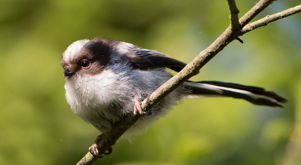 Staartmees  - Long-tailed Tit 10/05/2017. Jonge.