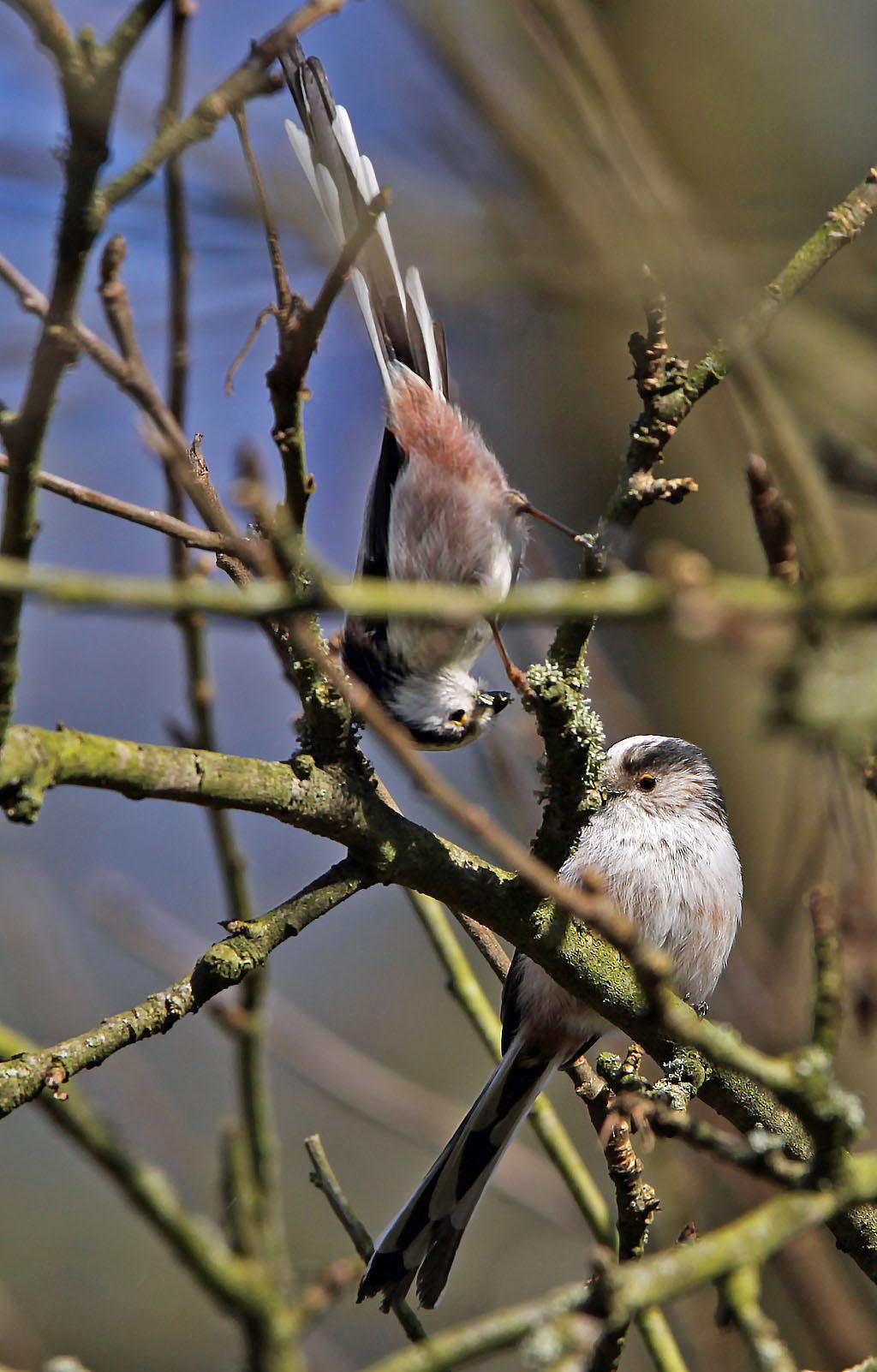 Staartmees  - Long-tailed Tit 9/03/2014. Korstmos plukken voor nestbouw.