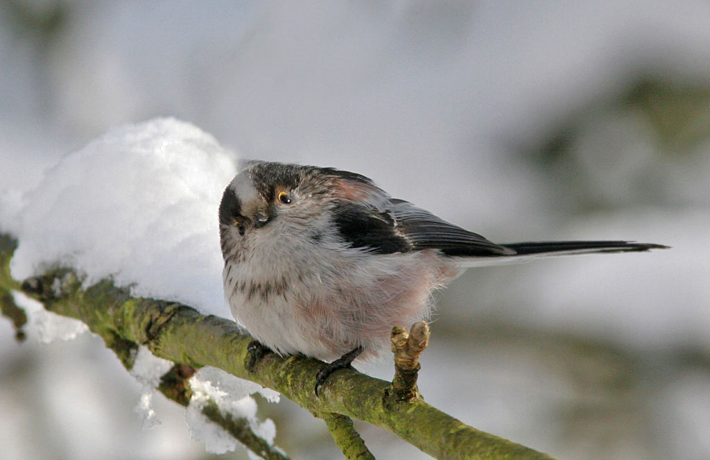 Staartmees  - Long-tailed Tit 1/03/2006.